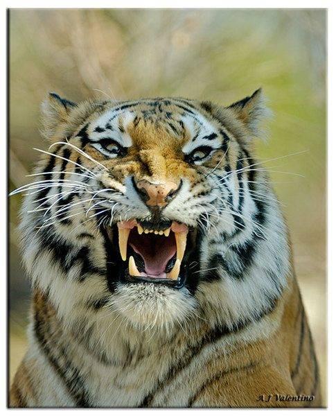 tiger-angry-photo.jpg