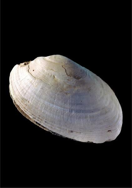 Trinil-shell-721x1024.jpg