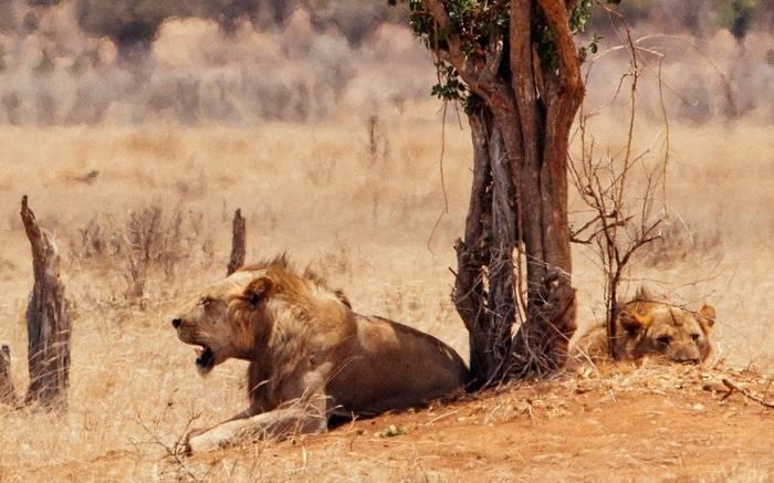 Tsavo_lions_closer.jpg