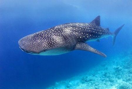 whale-shark-belize.jpg