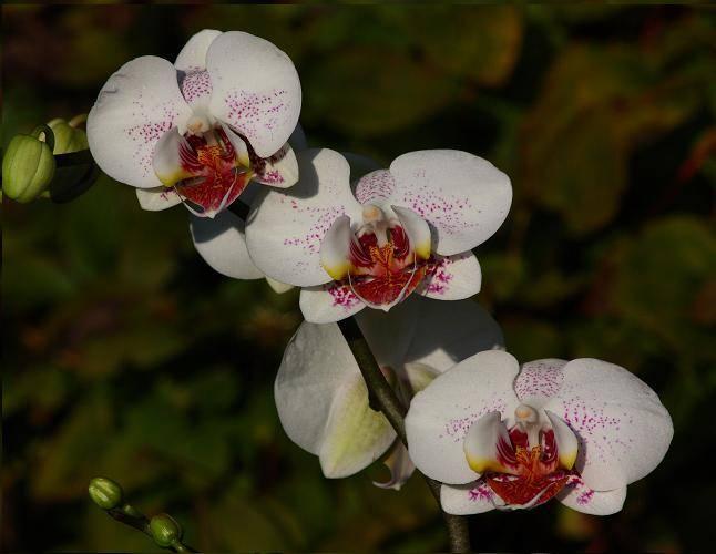 white-orchid2-tn.jpg