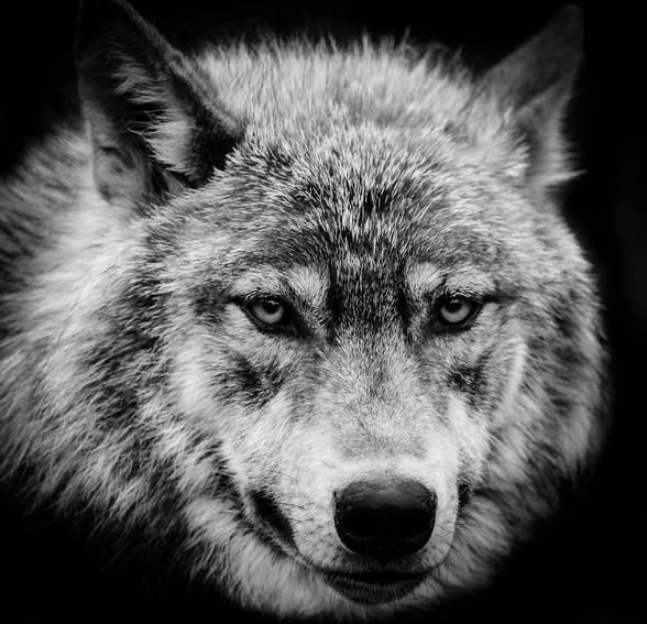 wolf-eyes.jpg