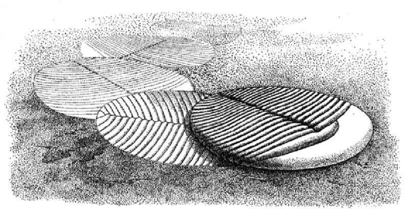 Yorgia-with-the-feeding-traces-Epibaion-waggoneris-isp-nov-reconstruction-by-the copy.jpg